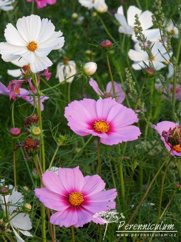 Cosmos bipinnatus - krásenka ve dvou barevných variacích