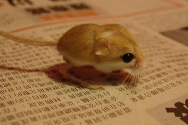 9. Baluchistan Pygmy Jerboa: the jerboa is one of the smallest mammals in the world and is the smallest rodent. Adult females only weigh up to 3.75g. - https://www.facebook.com/different.solutions.page