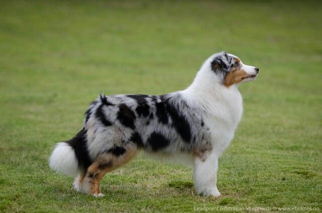 Blue Merle Australian Shepherd With Natural Tail With Images