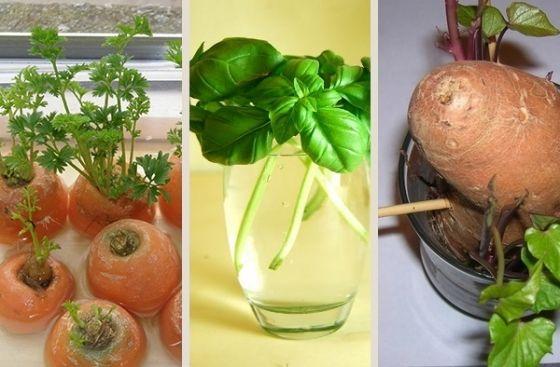 Conheça sete alimentos que podem renascer a partir de si mesmos.
