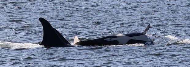 Orca J53