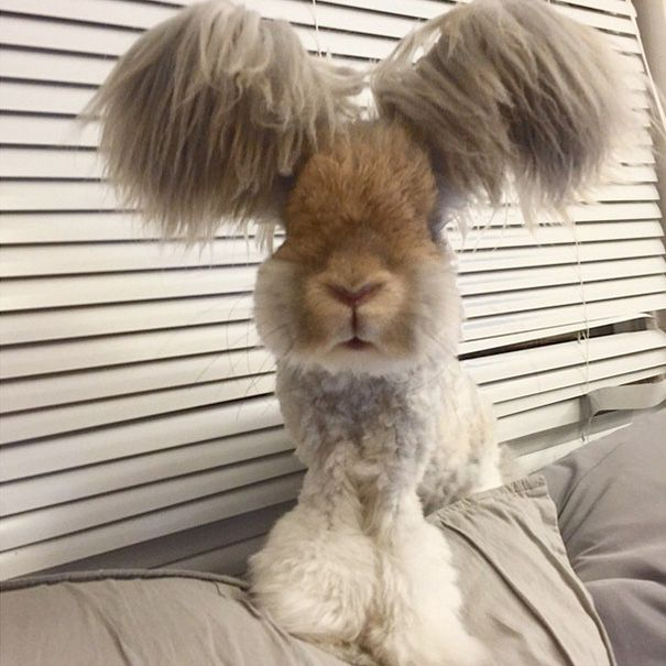 BoredPanda~Wally is an English Angora rabbit who lives in Massachusetts, USA, and has ears that look like angel wings.