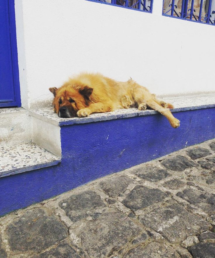 """25 Likes, 1 Comments - Dogs of Lake Atitlan (@dogsoflakeatitlan) on Instagram: """"This guy might be the last of San Pedro la Laguna's Chow years.  As we've mentioned, purebreds are…"""""""