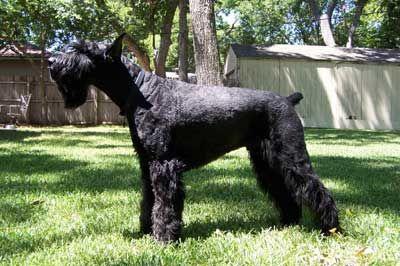 Giant Schnauzer Guard Dog | Standard schnauzer pups for sale - Giant schnauzer guard dog