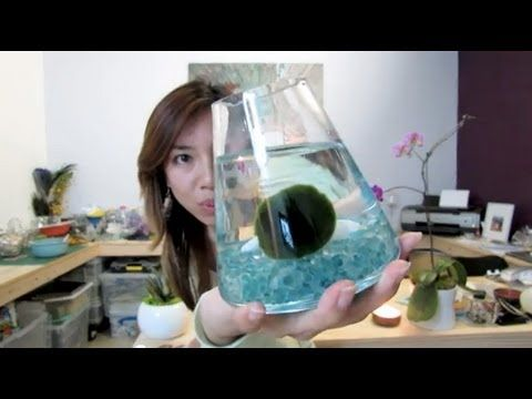 What is a Marimo -- Please excuse my awkwardness!  This was my very 1st actual Youtube video!  Lol  It explains general background and history of these adorable Marimo pets. :)