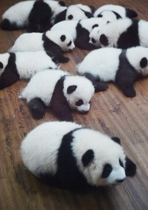#Panda Alert: count the cubs and tell @PDChina how many you see! Photo taken Oct. 24 in Panda Center in SW China.