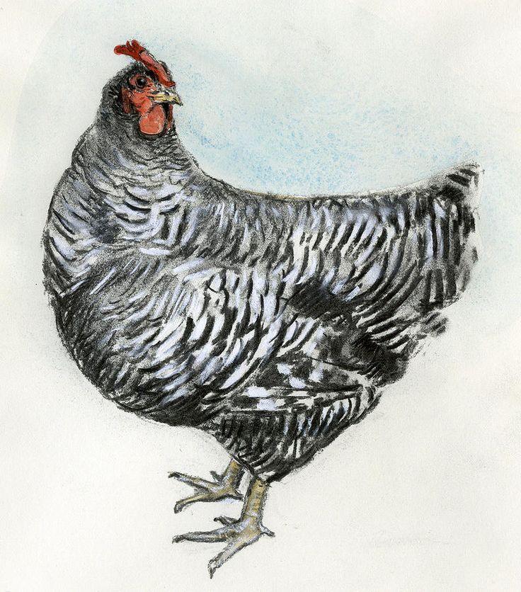 Google Image Result for http://images.fineartamerica.com/images-medium-large/barred-rock-chicken-chris-pendleton.jpg