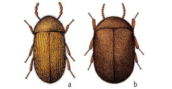 Cigarette and drugstore beetles - Insects in the City