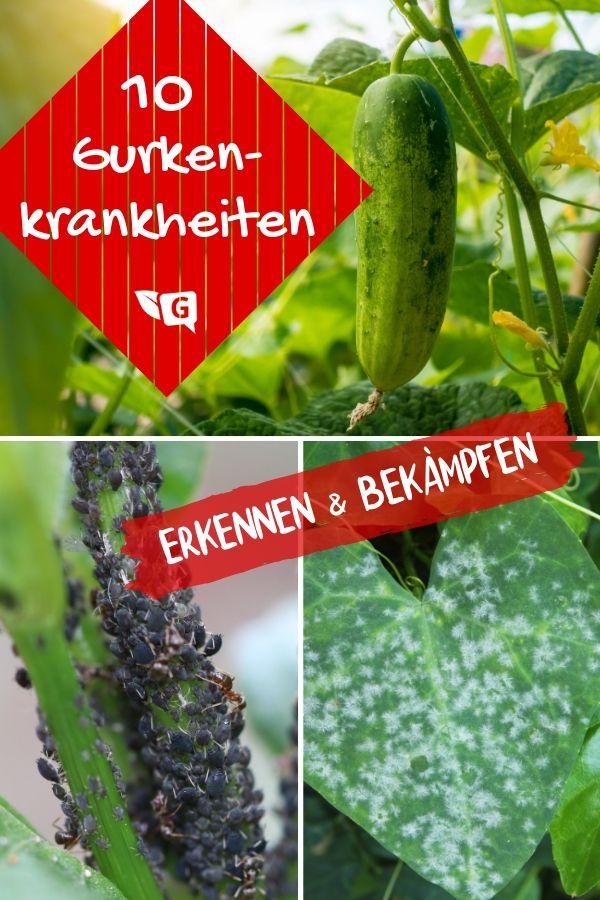 10 Gurkenkrankheiten Erkennen Gurkenpflanze Gemusegarten Tipps Gemuse Anpflanzen
