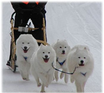 Magic Mist Samoyed team