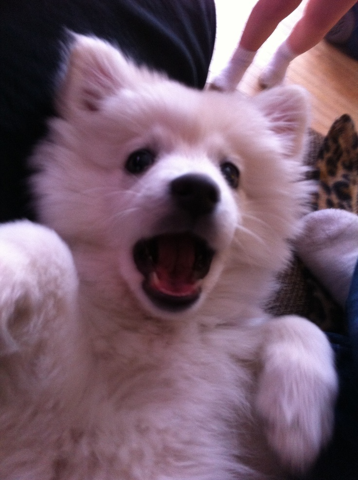 13 best Dogs American Eskimo Dog images on Pinterest