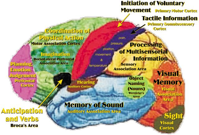 Brain map. #neurology