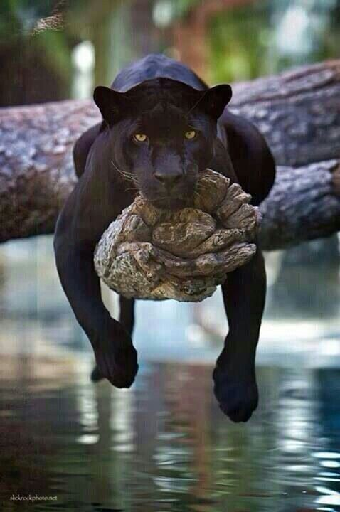 Tired Panther