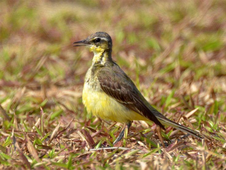 Yellow Wagtail (male) _ LH   by mahi mahi 163
