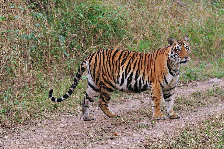 Smithsonian Conservation Biology Institute Studies Prove Habitat Fragmentation Affects Gene Flow in India's Leopard and Tiger Populations Photo Credit: Sandeep Sharma and Trishna Dutta, Smithsonian Conservation Biology Institute