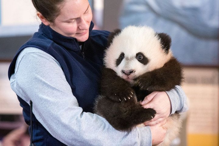 Looks like he's comfortable with that already. | Bei Bei The Giant Panda Cub Couldn't Be Bothered At His First Press Conference - BuzzFeed News