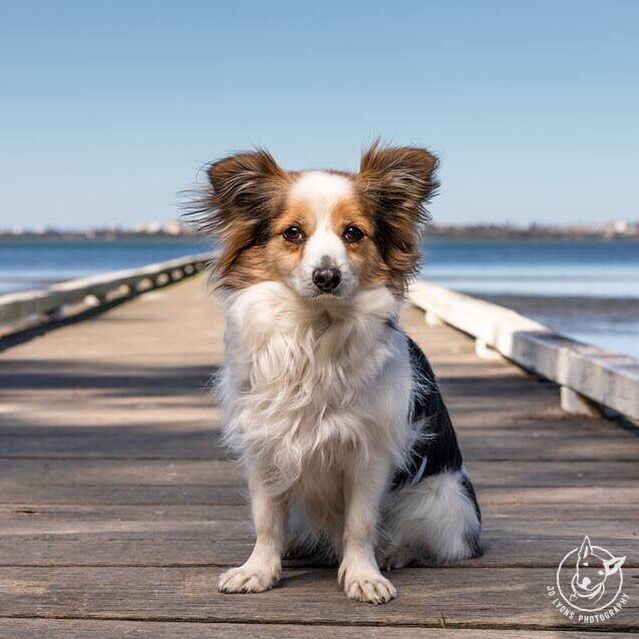 Teeny Tiny Dog Benny Strutting His Stuff Teeny Tiny Dogs And Their Stories Registrations Open This Friday Night Sign Up Now To In 2020 Dogs Tiny Dogs Corgi