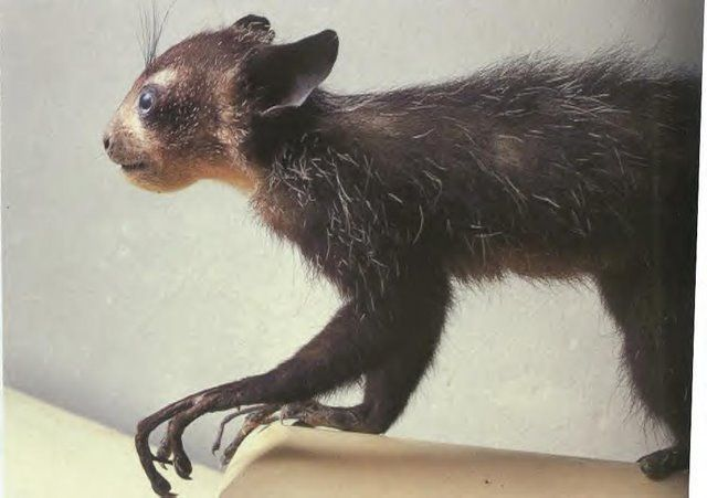 "The Aye-Aye, a ""native to Madagascar that combines rodent-like teeth with a long, thin middle finger to fill the same ecological niche as a woodpecker. It is the world's largest nocturnal primate, and is characterized by its unique method of finding food; it taps on trees to find grubs, then gnaws holes in the wood and inserts its elongated middle finger to pull the grubs out."""