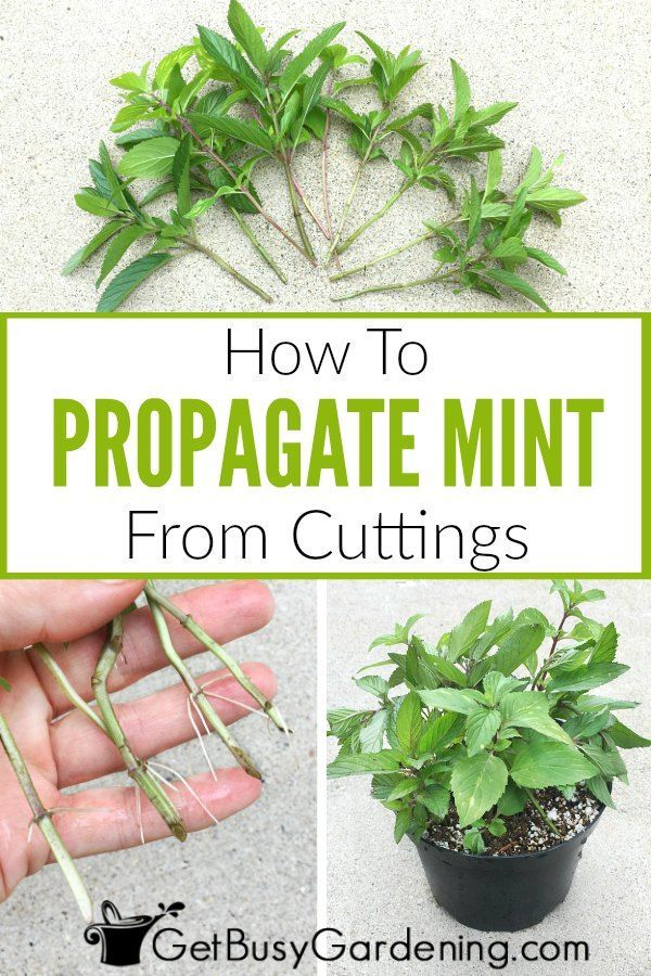 Propagating Mint Plants From Cuttings Step By Step Mint Plants Propagate Mint Growing Mint