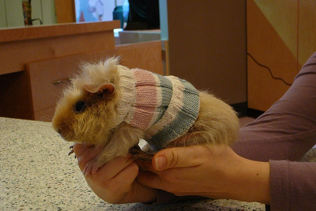 Knitted guinea pig jumpers! Kniting Pinterest