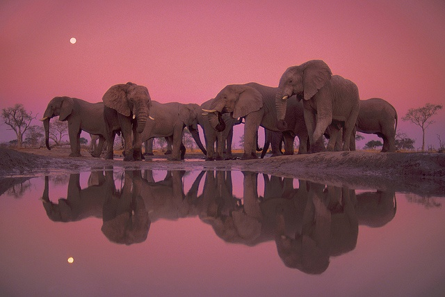Frans Lanting  Twilight of the Giants, Botswana, 1989: African Elephant, Elephants, Photos, Animals, Nature, Beautiful, Frans Lanting, Photography
