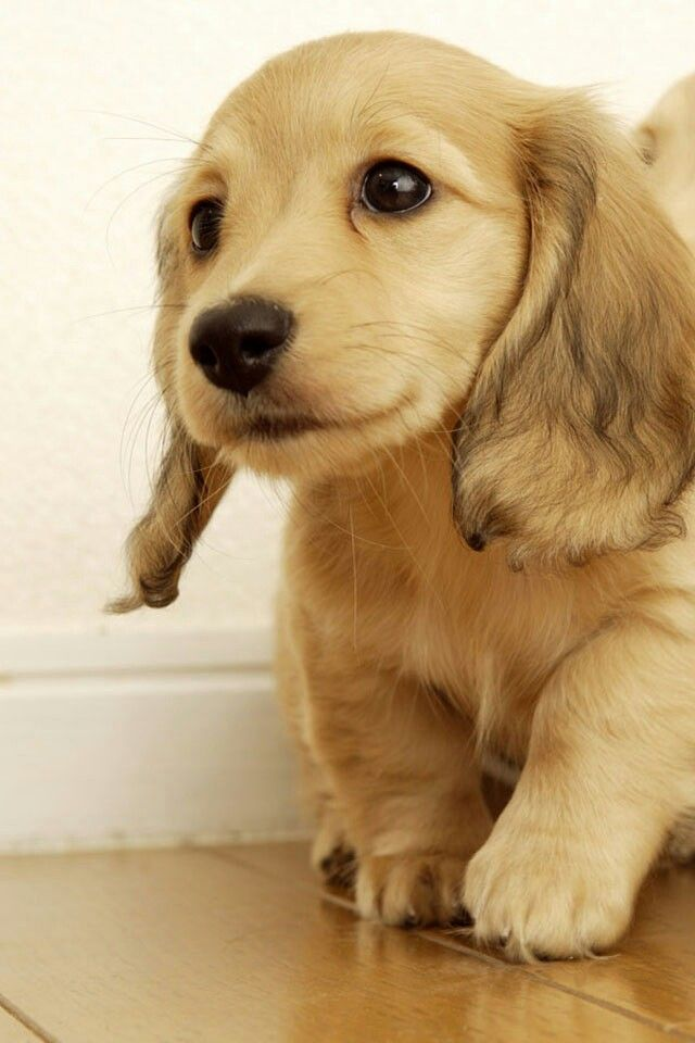 Long Haired Dachshund Puppy…..melting expression