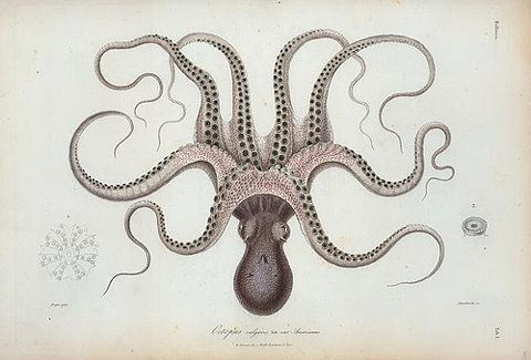 anatomyFood, Art, Illustration, Sorting, Russell Norman, Book Covers, Octopuses, Polpo, Venetian Cookbooks
