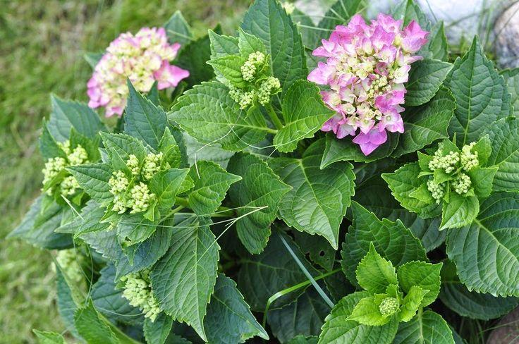 Hortensja - Hydrangea macrophylla Obcująca z naturą