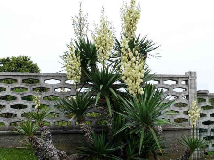 Yucca gloriosa - Spanish Dagger, Roman Candle is an evergreen, medium-sized…