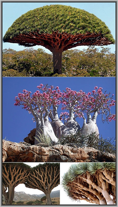 "Due to it's isolation, a third of the plant life on the island of Socotra (Yemen) is found nowhere else on the planet, making it the ""most alien-looking place on Earth"""
