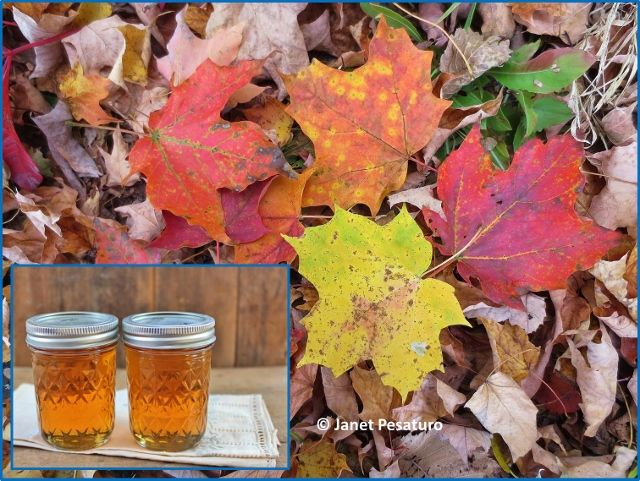 Learning how to make maple syrup is a great project for the family. This first part covers choosing the trees, placing the taps, and collecting sap.