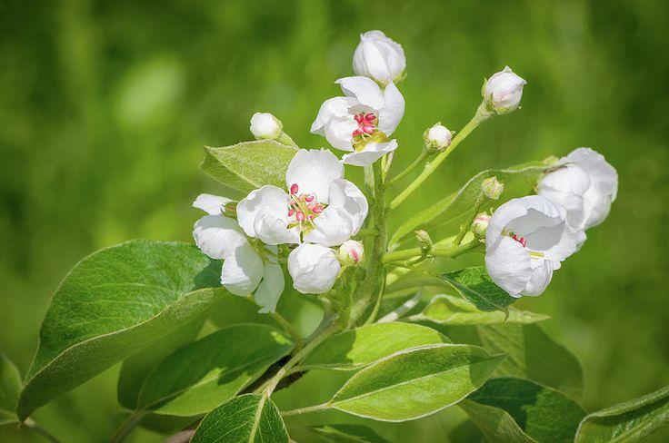 Jane Star Photograph - Springtime - Blooming Tree - 2 by Jane Star  #JaneStar #Spring #AppleTree #ArtForHome #InteriorDesign #HomeDecor