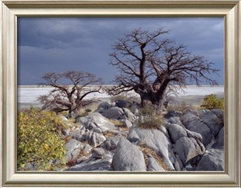 Gnarled Baobab Tree Grows Among Rocks at Kubu Island on Edge of Sowa Pan, Makgadikgadi, Kalahari Photographic Print by Nigel Pavitt at Art.com