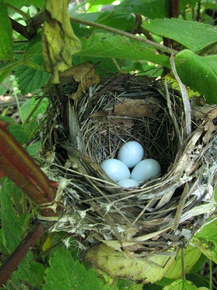 Je vous parlais la semaine passée du merle qui habitait mon jardin. Voilà, ce week-end j'ai trouvé son nid ! Il est construit dans un...