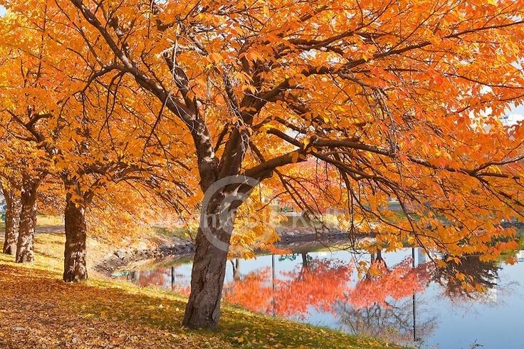 Yoshino cherry tree in the fall