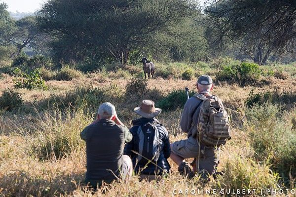 Buffalo encounter on the Pafuri Walking Trail
