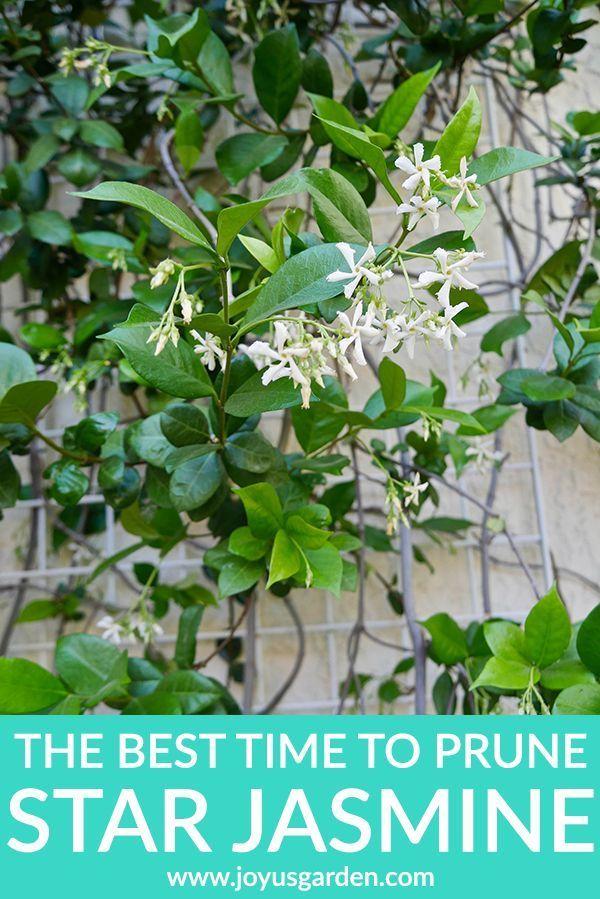 The Best Time To Prune Star Jasmine Star Jasmine Confederate Jasmine Jasmine Plant
