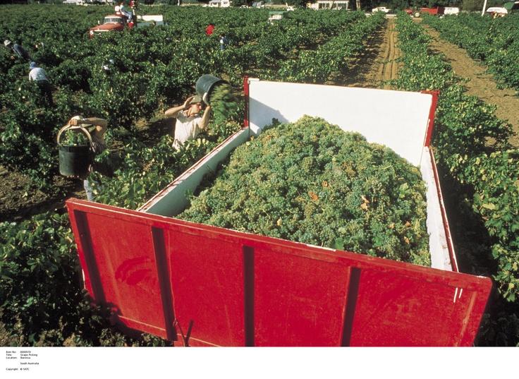 Grape Picking.    Image Source: SA Tourism Commission.