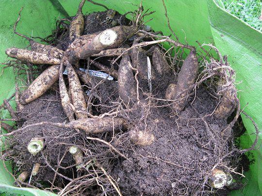 How to Grow Dahlias, Overwintering Dahlias: Gardener's Supply