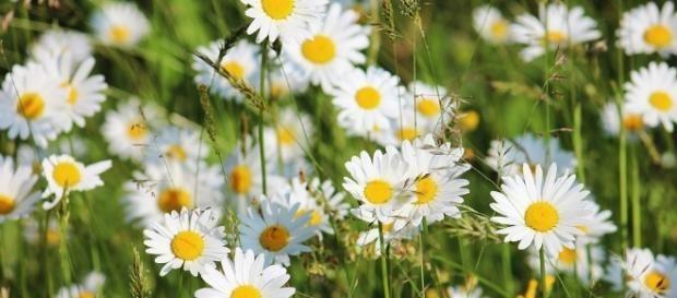 Delikatne Ale Silne I Zdecydowane W Dzialaniu Stokrotki Fot Pixabay Shasta Daisies Perennial Border Plants Daisy Field