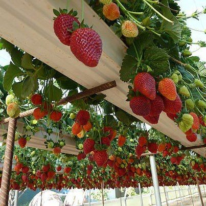 Strawberry arbor...plant them in gutters. This is an amazing idea!