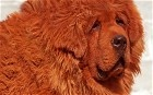A Red Tibetan Mastiff puppy has become the world's most expensive dog after being sold for almost £1 million.