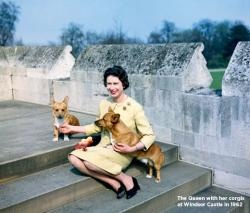 Article about the Queen's corgis. Pampered pooches!