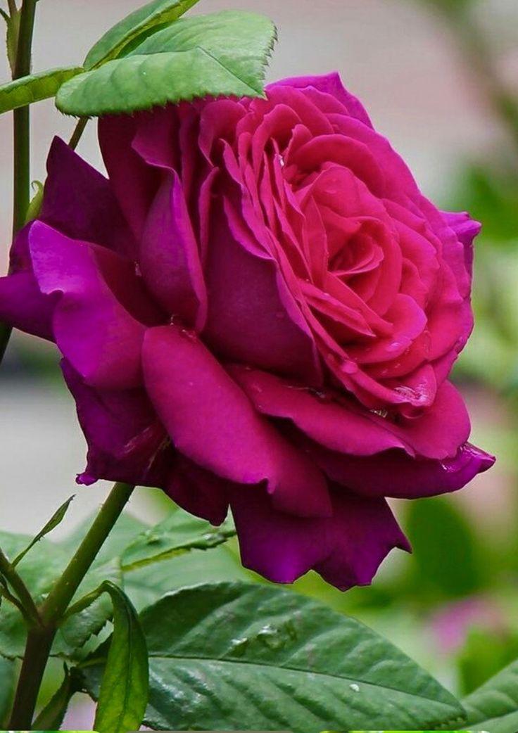 Beautiful rose!