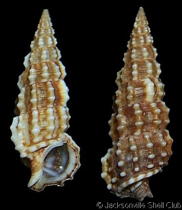 Cerithium (Thericium) muscarum  Say, T., 1832 Fly-specked Cerith Shell size 10 - 27 mm Florida, USA - Bahamas; Cuba; Gulf of Mexico