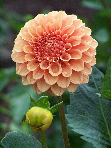 Dahlia 'Rose Toscano'