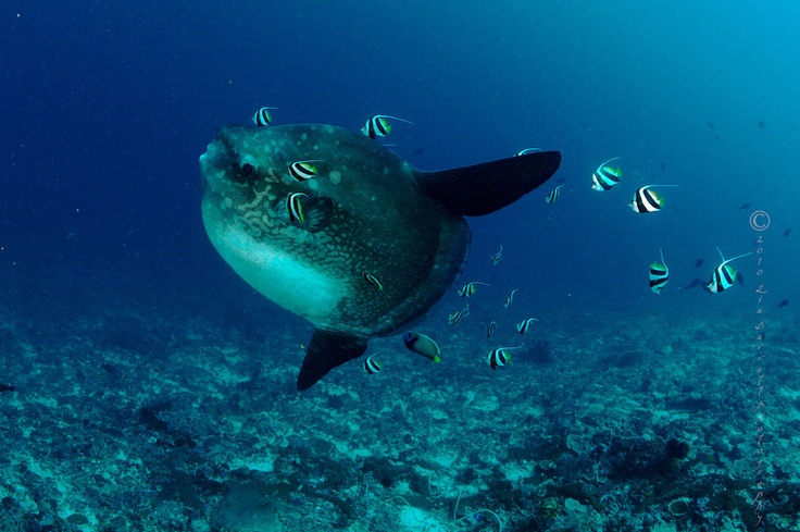 Go to Bali and see some lovely sunfish there...