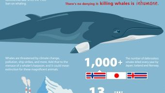 Infographic: There's No Denying It- Killing Whales is Inhumane