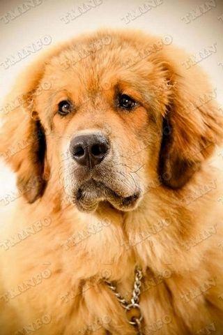 Tibetan Mastiff Information, Tibetan Mastiffs, Tibetan Mastiff Breeders,Tibetan Mastiff Puppies, Tibetan Mastiff Pictures, Photos, Tibetan Mastiff Info.com