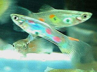 Guppy, guppies, a rainbow of dreams.